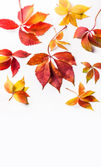 Autumn red orange yellow leaves overhead large vertical colorful group isolated on white background in studio