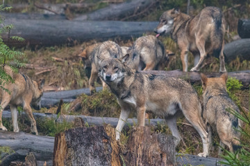 The gray wolf or grey wolf (Canis lupus) standing on a rock