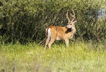 Mule deer, Yosemite National Park, CA