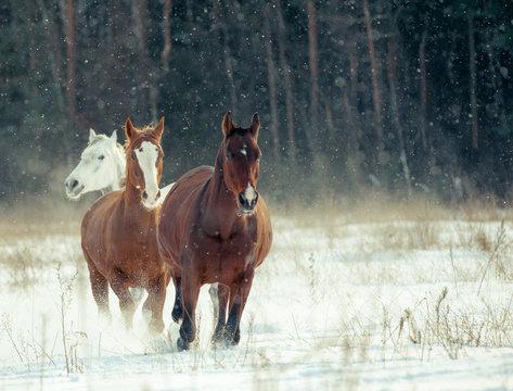 horses herd in winter