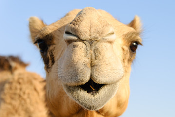 Poster Kameel Closeup of a camel's nose and mouth, nostrils closed to keep out sand