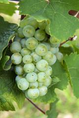 Weintraube weiß