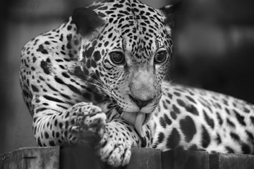 Jaguar Black & White