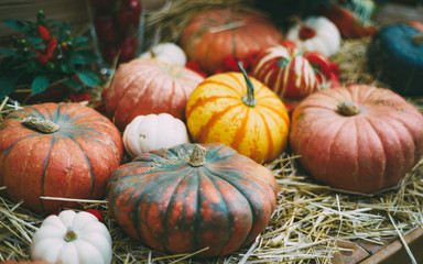 Plenty of pumpkins of different kind, form, color, and sizes are laying on dry straw ready for Halloween celebration or Thanksgiving day, shallow depth of field