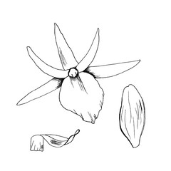 Vector illustration orchid flowers sketch hand drawn with black liner