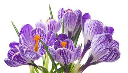 close up of beautiful crocus on white background - fresh spring flowers. Violet crocus flowers bouquet . (selective focus)