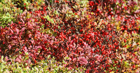 autumn background with red and green leaves and berries