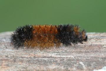 Fotoväggar - Banded Woolly Bear Caterpillar (Pyrrharctia isabella)