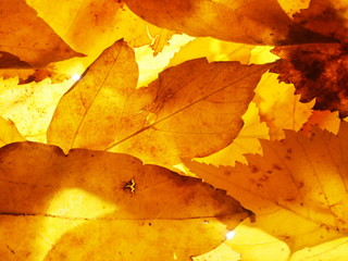 Fallen autumn leaves. Wallpaper. Structure of the dried leaves.