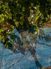 Weinblatt und Schutznetz