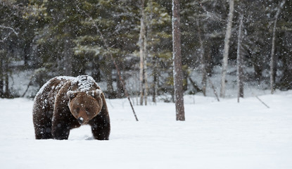 Brown bear in winter