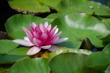 A pink waterlily with lilypads