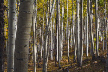 Kebler Pass, CO Aspen Changing Color Gold, Autumn