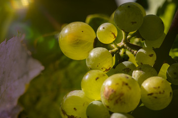 vine stock with white grapes