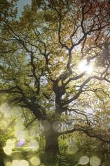 Oak tree in autum light