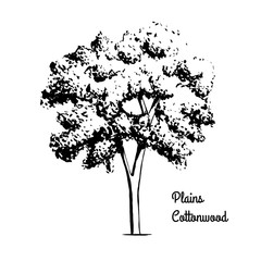 Vector sketch illustration of Plains Cottonwood. Black silhouette of plant isolated on white background. Official state tree of Wyoming.