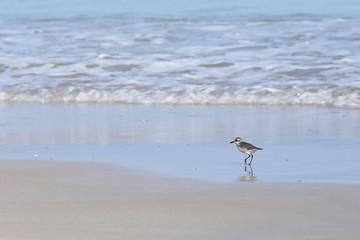 Small Sea Bird on Sandy beach looking for crab food