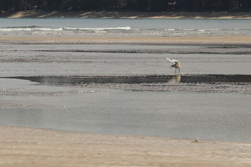 Small Sea Bird on Sandy beach looking for crab food