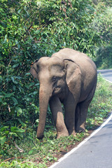 Wild Asian elephant in Kao yai National Park of Thailand