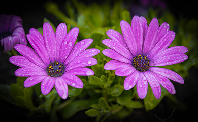 Purple Daisy couple