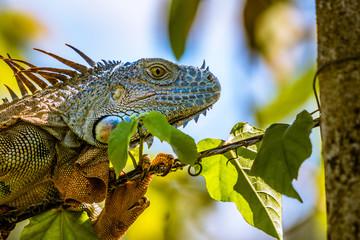 Portrait eines Leguan auf einem Stacheldraht in Costa Rica
