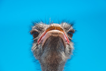 Reserve of wild nature. Funny African Ostrich