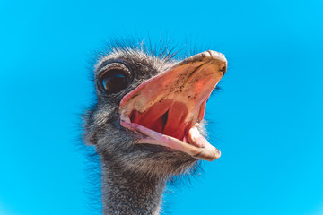 Funny screaming noisy African ostrich