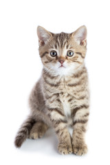 Cute scottish shorthair kitten cat looking at camera isolated