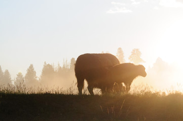 Photo sur Toile Buffalo Bison Silhouttes at Dawn