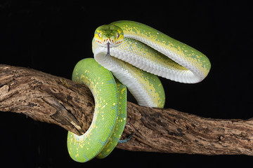 a green tree python wrapped around a branch with its tongue out about to strike against a black background