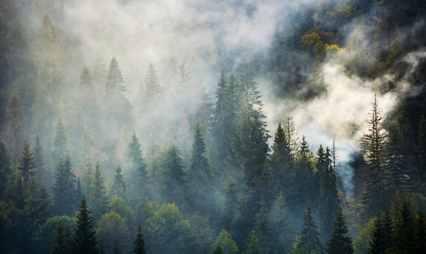 smoke rise above spruce forest. beautiful background with natural textures