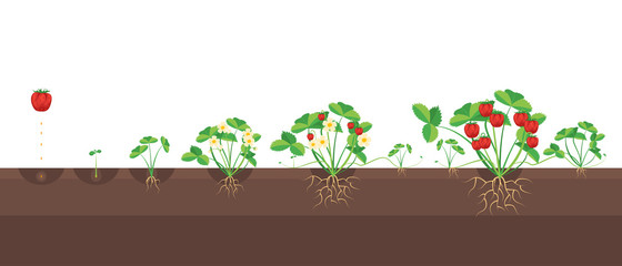 Cartoon Growth Stages Of Strawberries. Vector