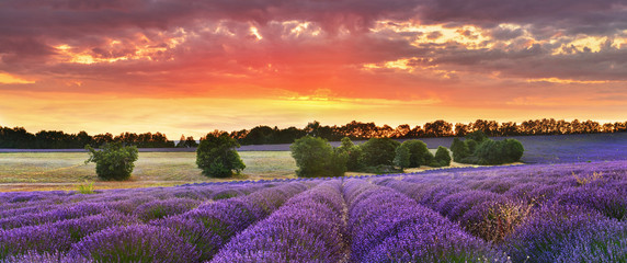 Stores photo Prune Twilight lavender field