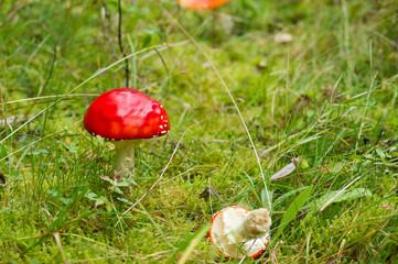 Mushroom in Swedish autumn Forest