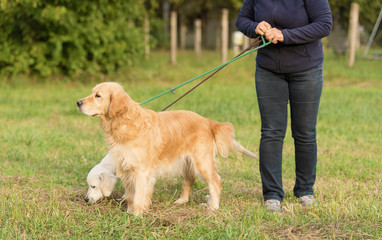 Beauty Golden retriever dog with owner