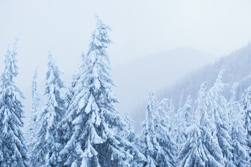 Fototapete - Winter in the mountain spruce forest