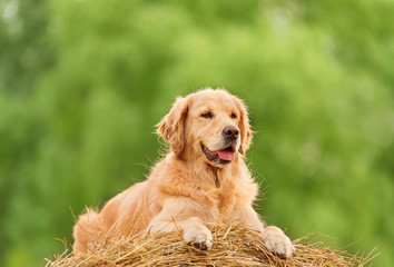 Beauty Golden Retriever dog on the hay bale