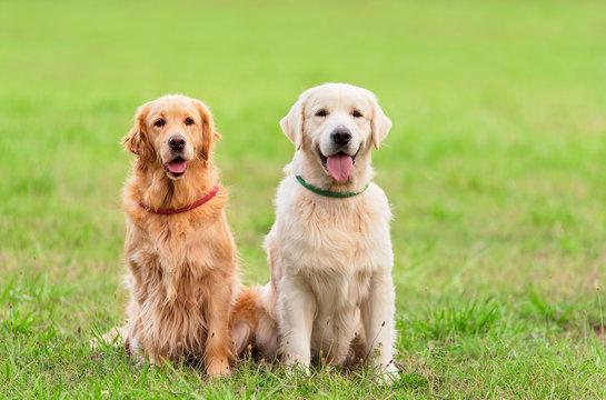 Closeup photo two Golden Retriever dog