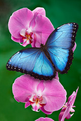 Blue Morpho butterfly or a pink orchid flower