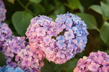 Fotomurales - Hydrangea is in form of heart, pink, blue, lilac, violet, purple flowers are blooming in spring and summer at sunset in town garden.