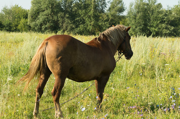 An attached horse standing on a summer meadow