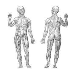 Human muscle anatomy - vintage illustrations