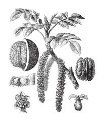 Common walnut (Juglans regia) - vintage illustration