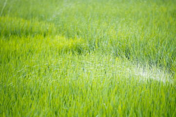 watering green rice paddy field agriculture in asia beautiful background