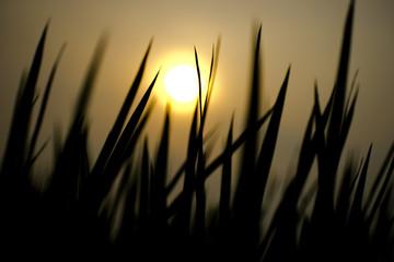 sunset dusk evening through grass green rice paddy field looking landscape nature