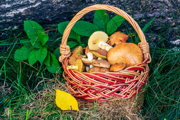 Mushrooms in wicker basket with trunk of fallen tree on the background