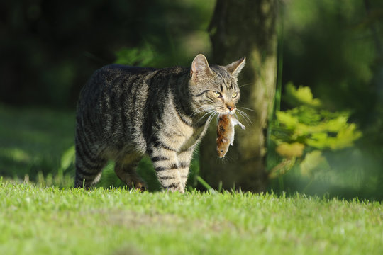 Nice domestic cat carrying small rodent prey in natural garden environment background