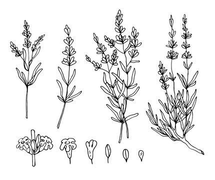 lavender sketch vector set