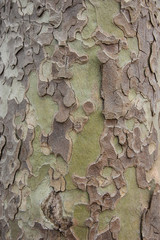 Brown and green camouflage - sycamore bark background.