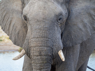 Closeup of African elephant at water hole in Botswana, Africa